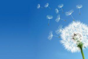 dandelion and sky